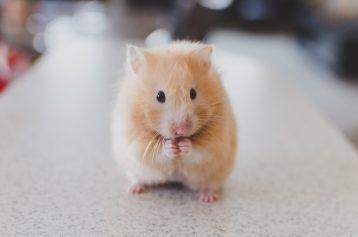 Hamstertje geeft cadeautje